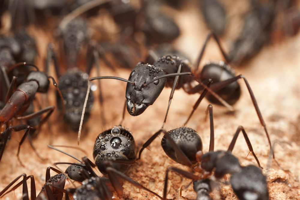 Pest Control - Ants